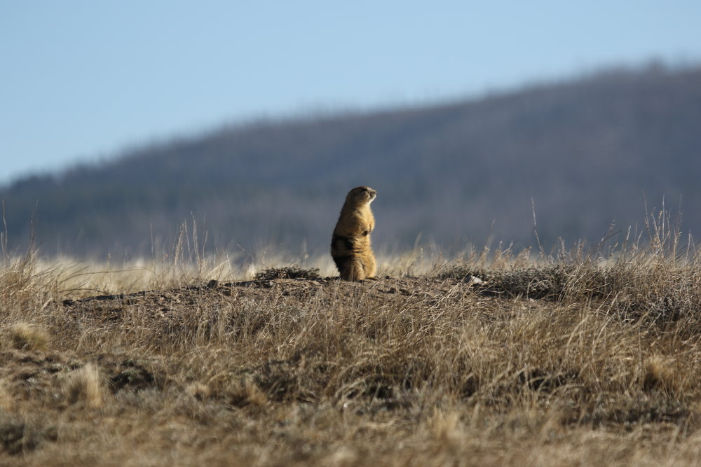 The first prairie dogs to emerge in the spring are typically adult males. Here male 45 surveys his surroundings.      ©MRR 2017