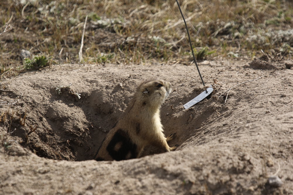 18 looks on from his burrow, wary of larger males such as 45, who will spend the spring establishing his territory. Adult males are marked with numbers 0-49.     © MRR 2017