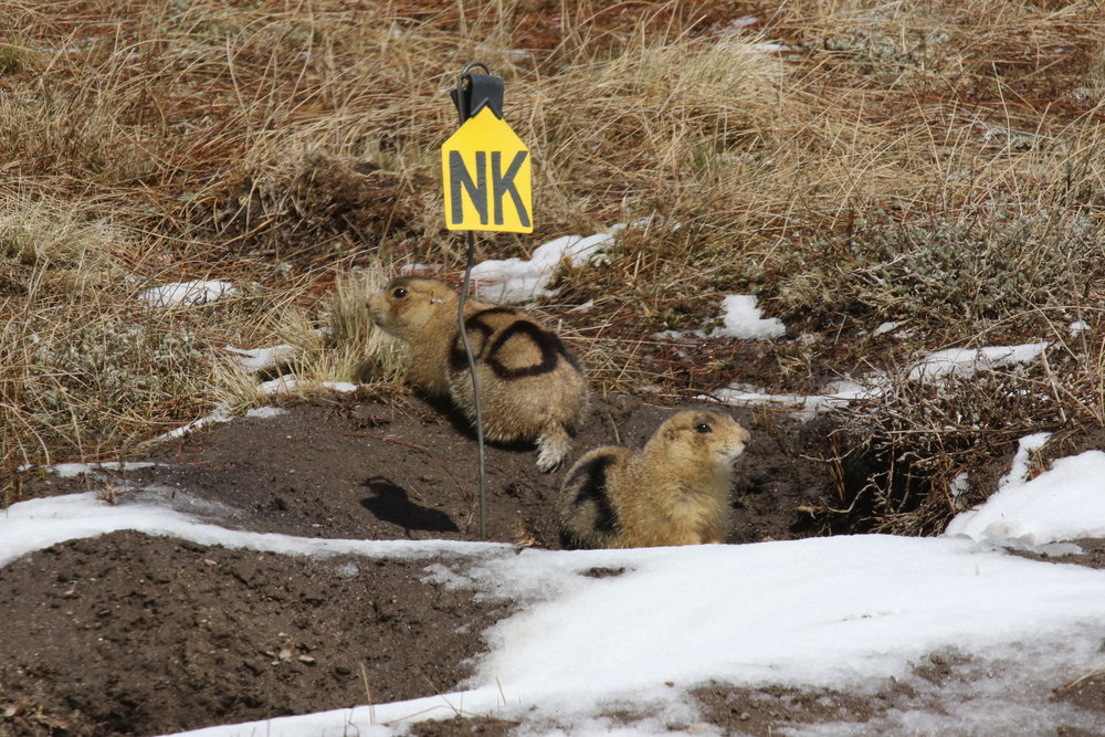 50 and 83 emerged from the same burrow, possibly sisters, most definitely kin. Prairie dog females exhibit philopatry, remaining in the same clan as their mothers, aunts, and female relatives.  ©MRR 2017