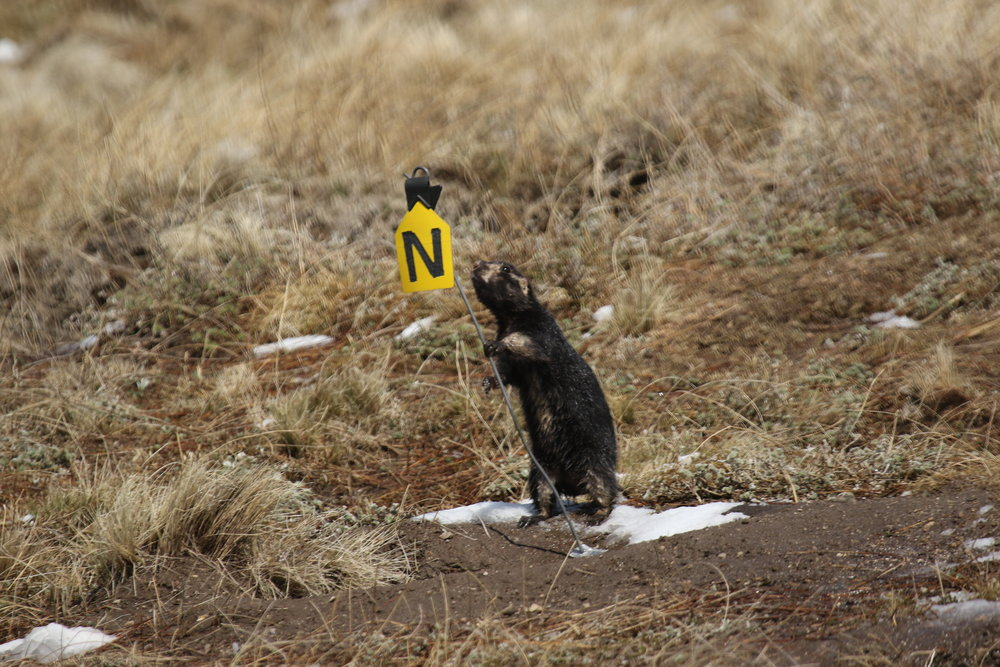 Wetsuit investigates a burrow marking. These tags are placed at heavily-used burrows for referencing when taking behavioral data.  ©MRR 2017