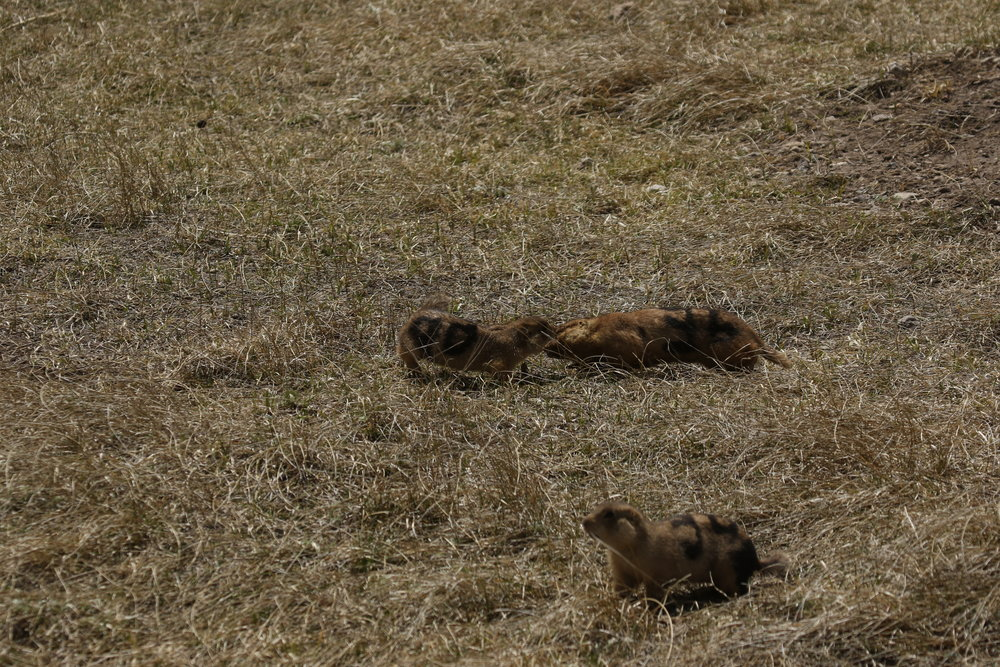Male 36 investigates female 90. Gunnison's prairie dogs exhibit sexual dimorphism in body mass, and here you can see how much larger 36 is than 90.  ©MRR 2017