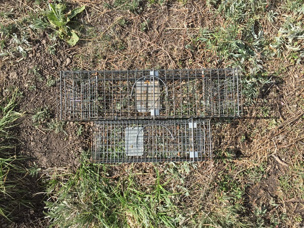 A double-door adult trap and a single-door juvenile trap - both Tomahawk live traps.  ©MRR 2016