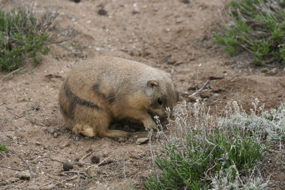 Prairie dog male 42 leans over a juvenile Wyoming ground squirrel he has just killed.  ©John Hoogland 2011