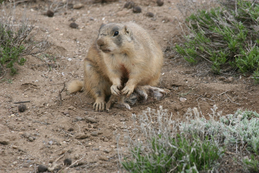 Blood is visible on 42's face from killing a juvenile Wyoming ground squirrel.  ©John Hoogland 2011