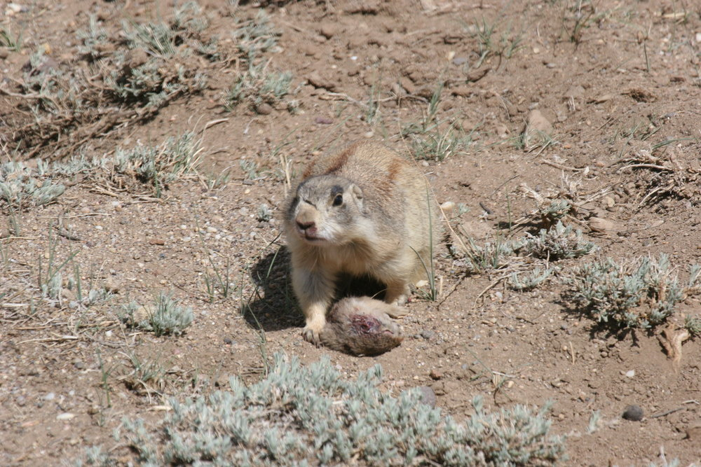 2RS surveys her surroundings standing over the carcass of a juvenile Wyoming ground squirrel.  ©John Hoogland 2012