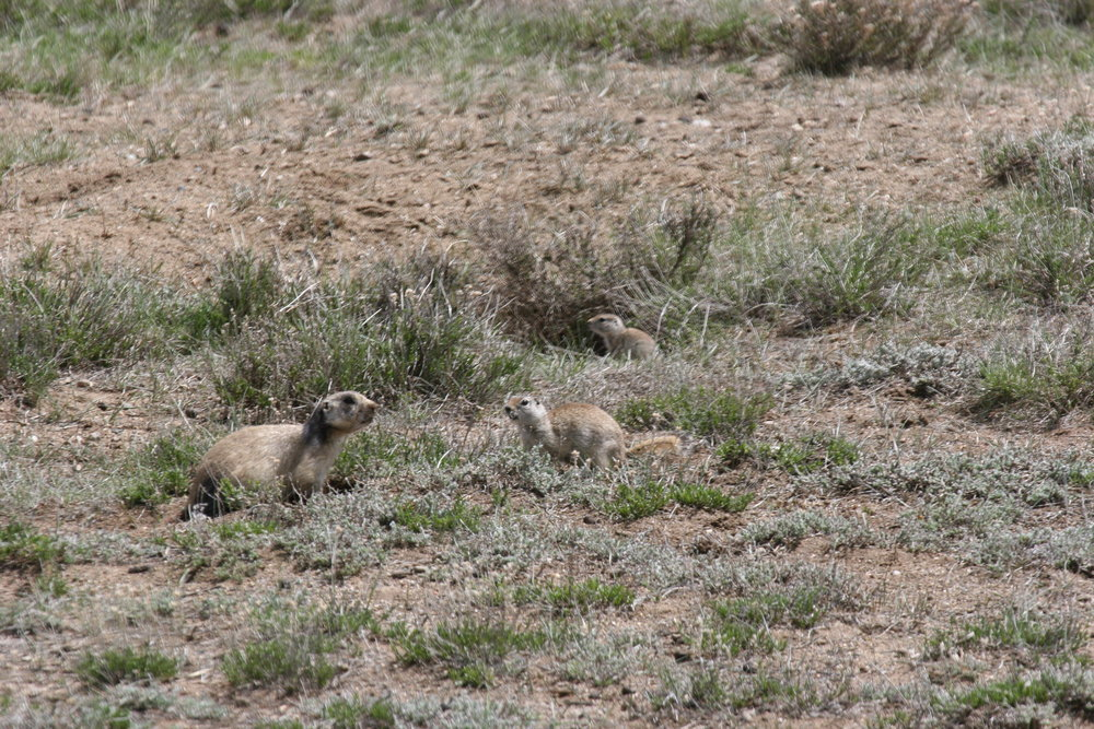 A Wyoming ground squirrel mother defends her baby (background) from RACR.  ©John Hoogland 2011