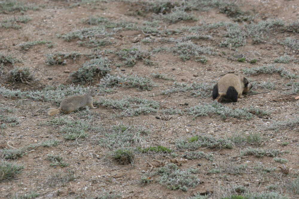 Female prairie dog RACR leans over the body of a juvenile Wyoming ground squirrel she has just killed, while the agitated mother looks on.  ©John Hoogland 2011
