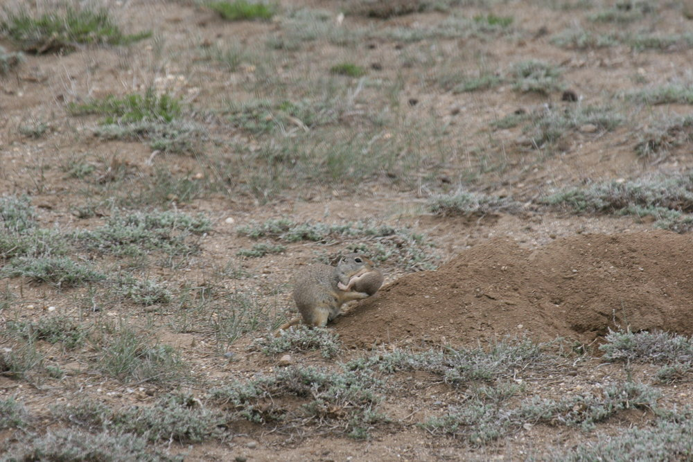 After an attack by a prairie dog, this Wyoming ground squirrel mother transfers her surviving offspring to a new, potentially safer, burrow.  ©John Hoogland 2011