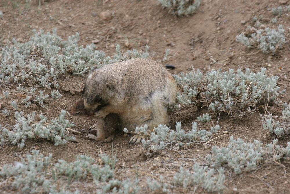 The prairie dog makes sure the juvenile ground squirrel is dead.  ©John Hoogland 2012