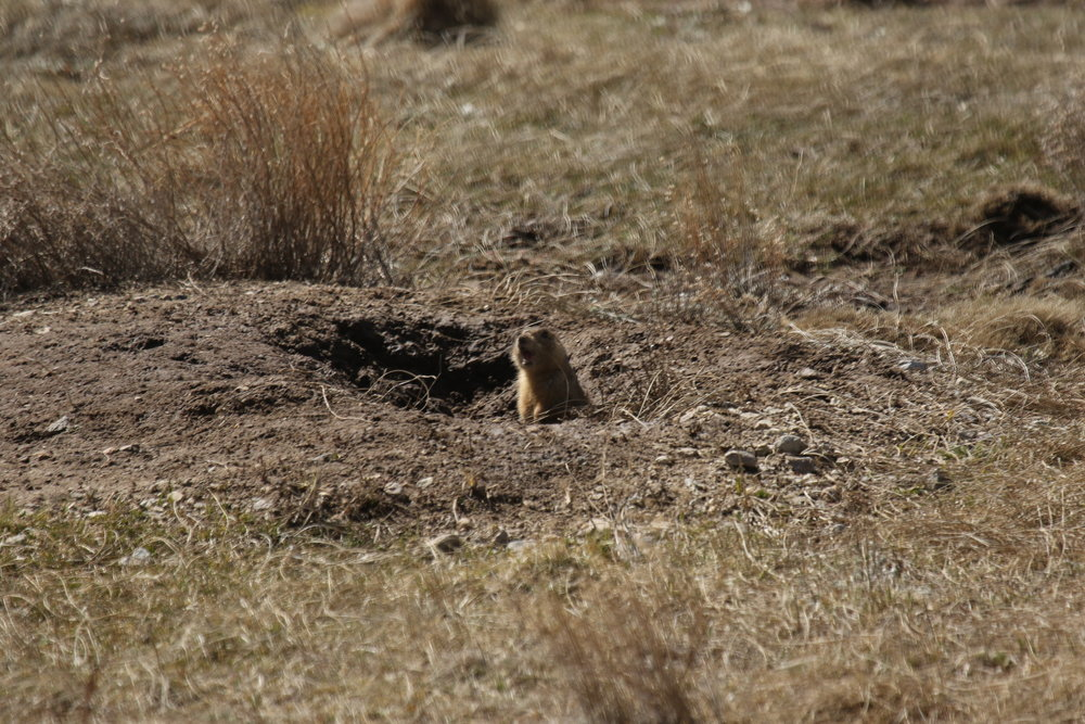 Many prairie dogs will run to the entrance of their burrow before sounding the alarm.  ©MRR 2017