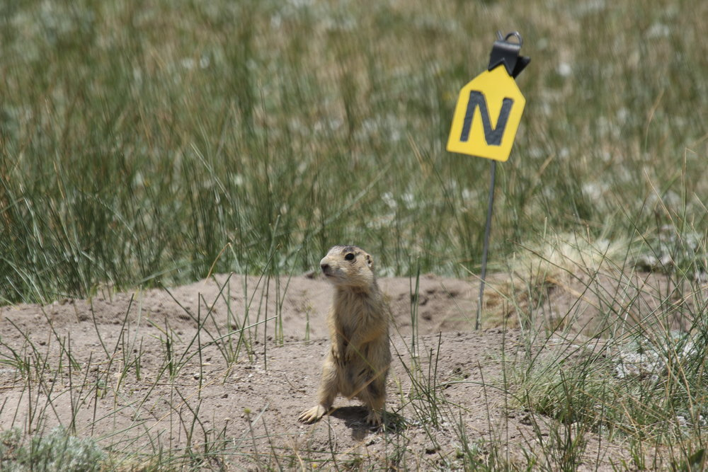 A juvenile prairie dog practices standing on alert.  ©MRR 2017