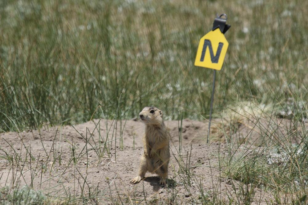 A juvenile prairie dog practices standing on alert.  ©MRR 2017
