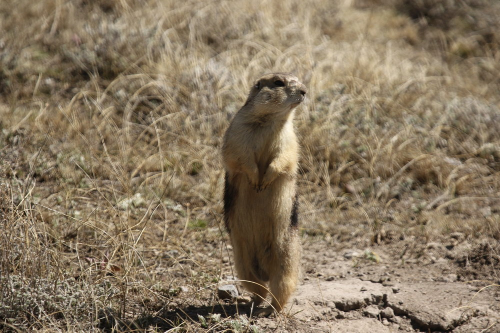 Standing at its tallest allows a prairie dog to scan farther.  ©MRR 2017