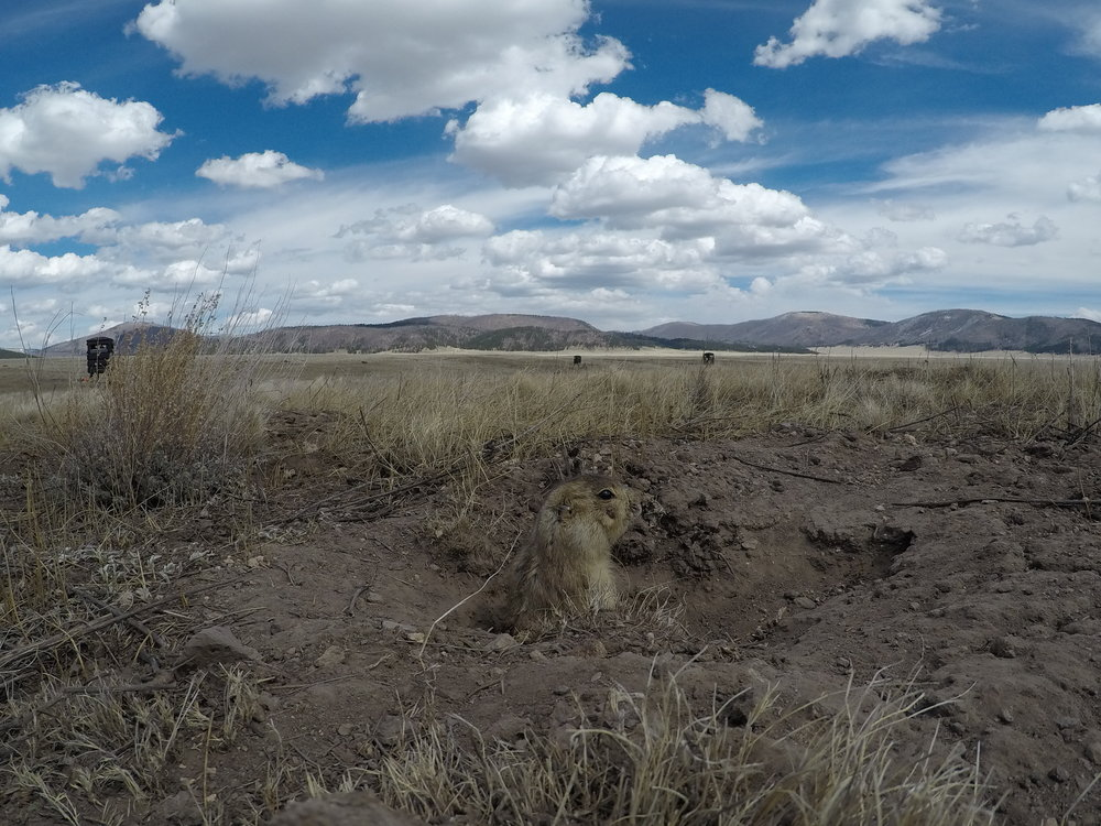 Alert from the burrow mound.  ©MRR 2017