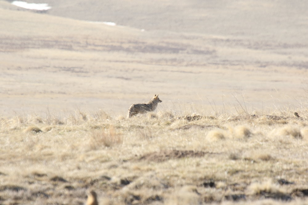 A coyote has been spotted by the prairie dogs it's been stalking.  ©MRR 2017