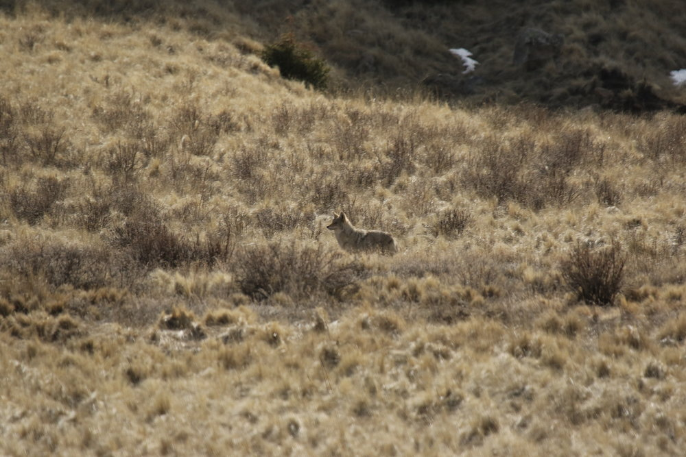A coyote hunts in the taller grass.  ©MRR 2017