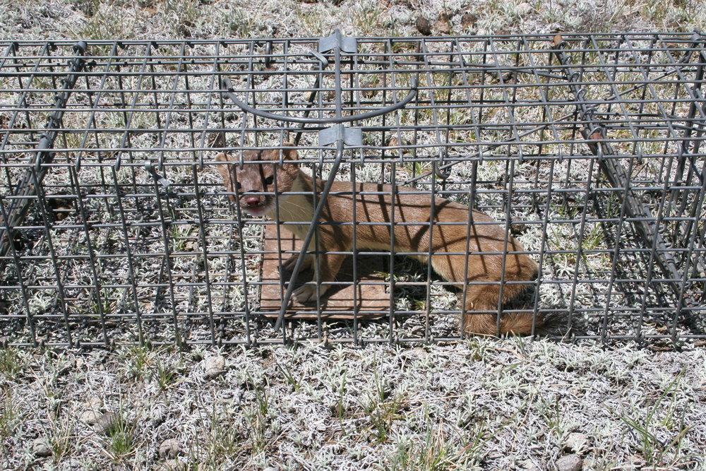 A wandering weasel makes its way into a prairie dog trap.  ©John Hoogland 2006