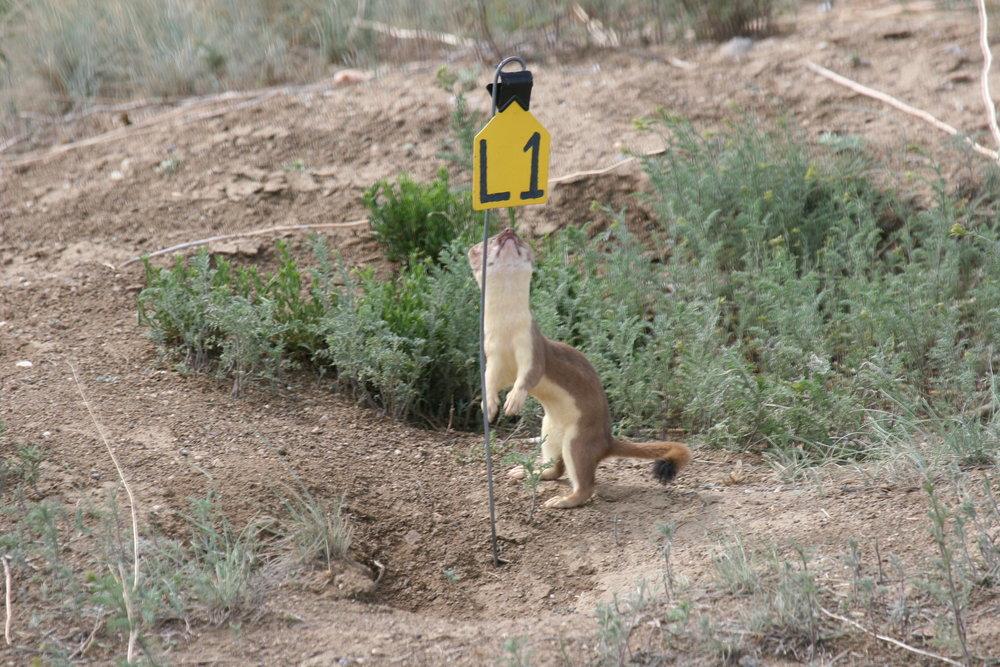 Weasels are inquisitive animals.  ©John Hoogland 2006