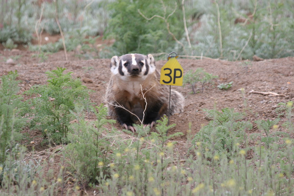 Badgers are brazen predators in prairie dog colonies.  ©John Hoogland 2007