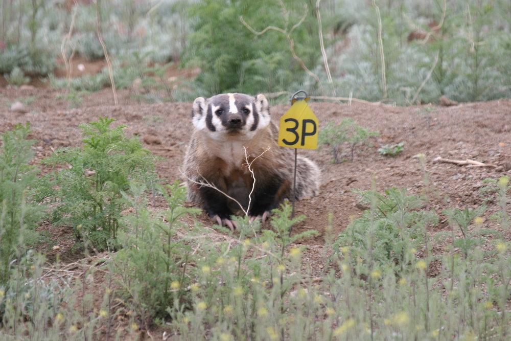 Badgers are brazen predators in prairie dog colonies.  ©John Hoogland 2007