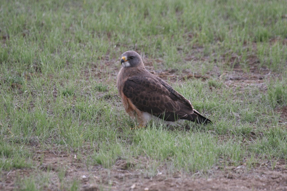 A Swainson's hawk lands in a colony during its hunt.  ©John Hoogland 2011