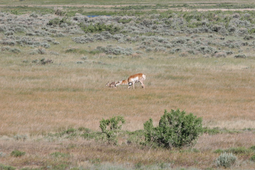 Prairie dogs will sometimes (though infrequently) give false alarms at animals that are not predators before the prairie dog can determine what the animal is. Here another prey animal, the pronghorn, shows its own vulnerability.  ©John Hoogland 2006