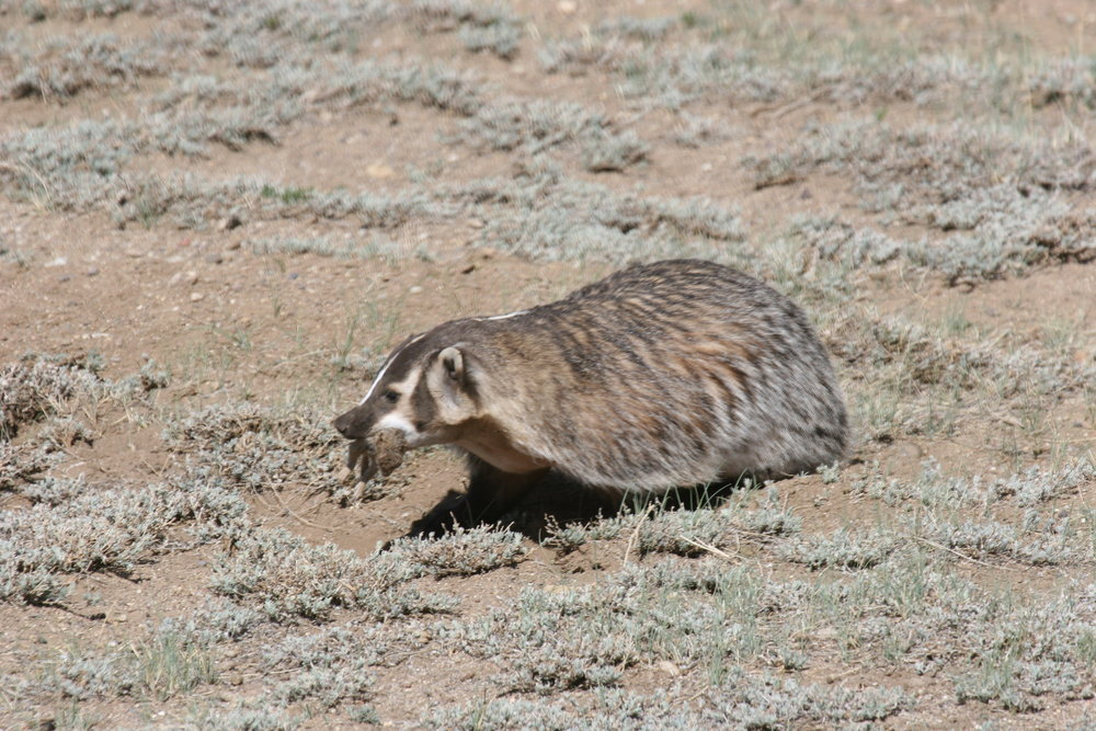 A badger comes home with a juvenile prairie dog in her jaws.  ©John Hoogland 2012