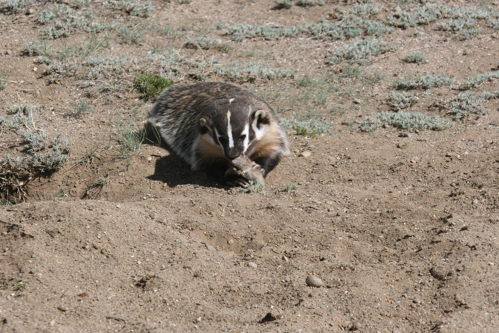 Living within the confines of a prairie dog colony gives predators like badgers easier access to meaty prey.  ©John Hoogland 2012