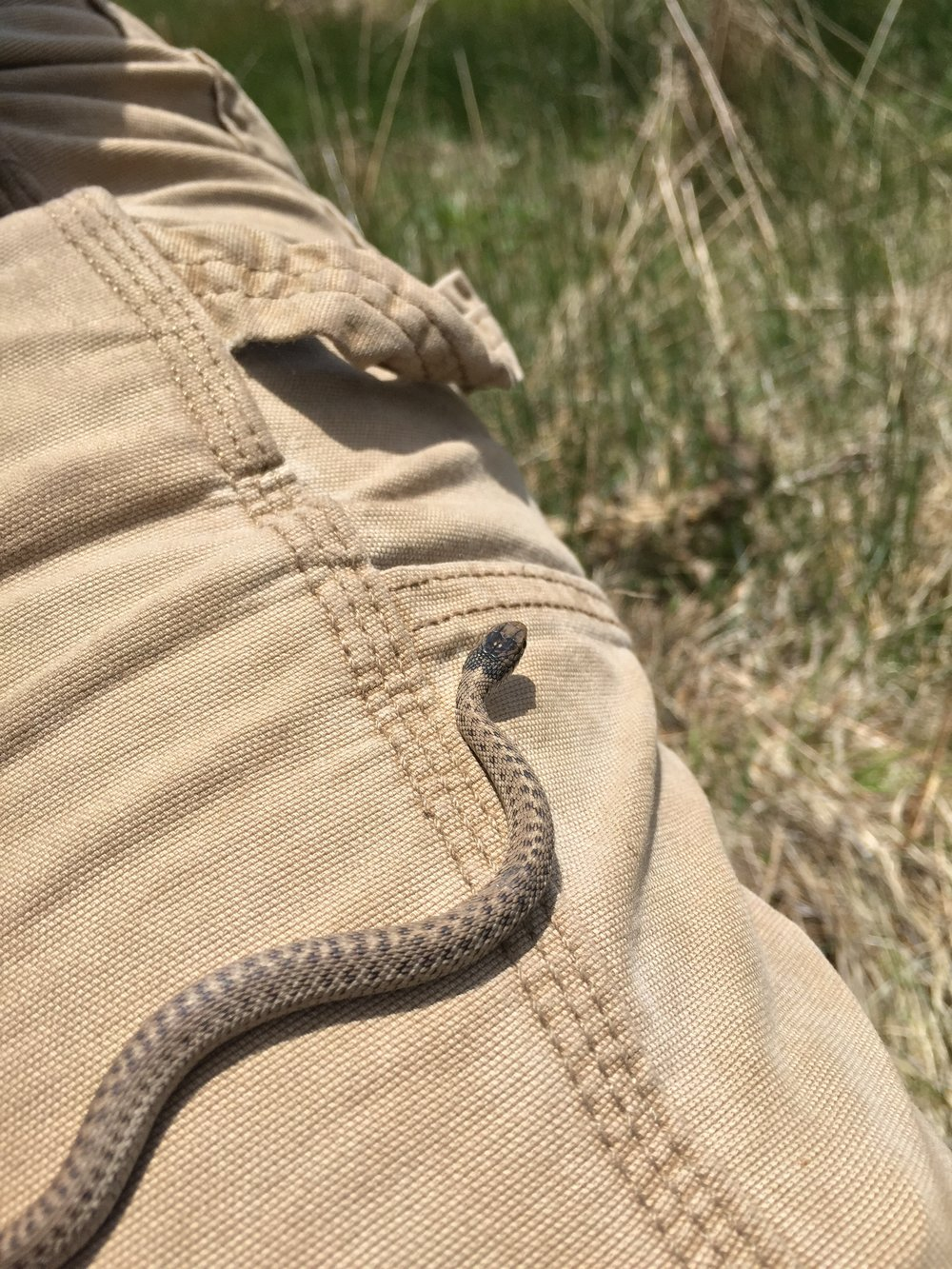 This juvenile bullsnake will grow to adulthood hunting juvenile prairie dogs.  ©MRR 2016