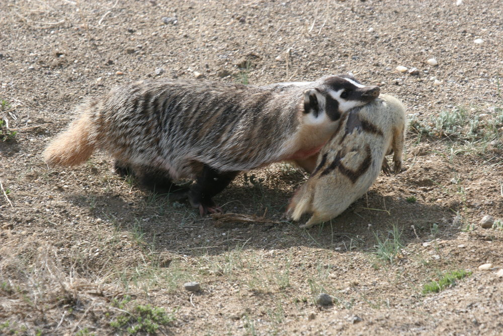 A badger comes home with an adult prairie dog in her jaws.  ©John Hoogland 2012