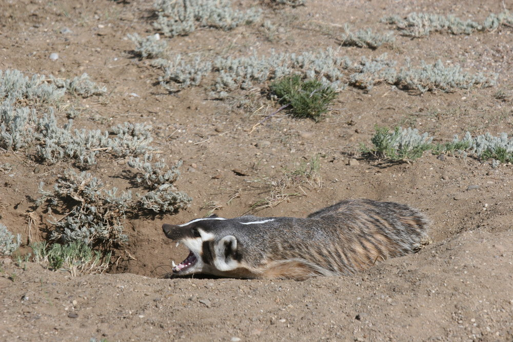 As a carnivore, badgers have long, sharp canines for grabbing prey.  ©John Hoogland 2012