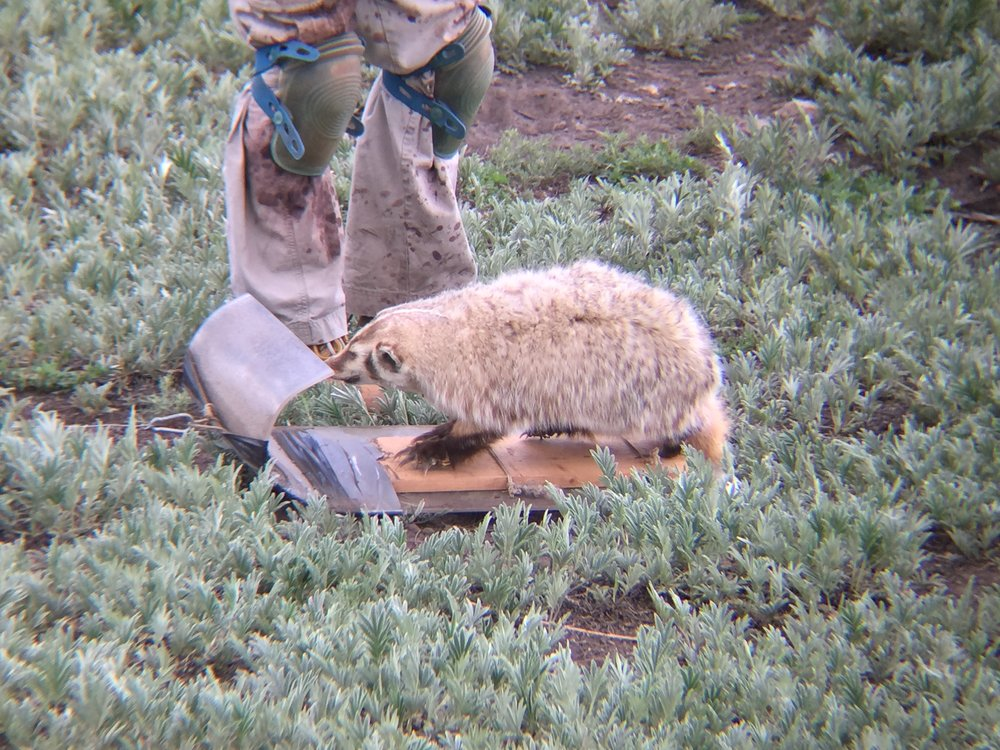 This taxidermied stuffed badger is pulled through the colony to take targeted data on alarm calls.  ©MRR 2016