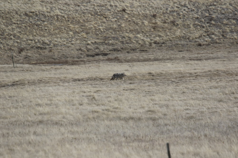 Coyotes are colored to blend in with their surroundings.  ©MRR 2017