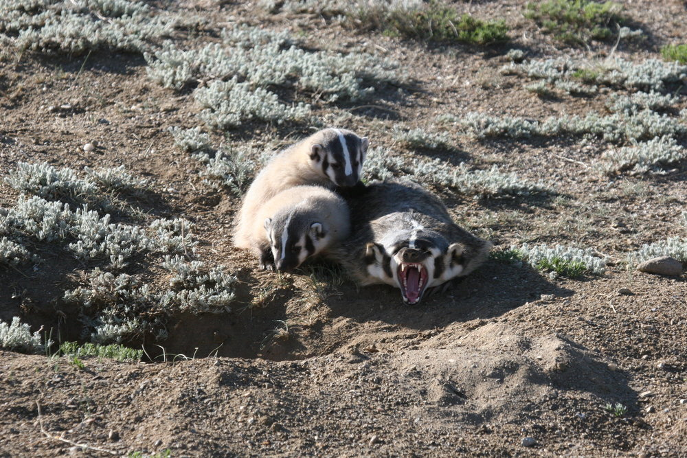 A yawn puts this badger's crushing teeth on display.  ©John Hoogland 2012