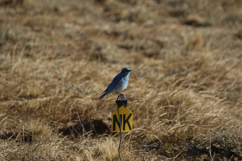 Juvenile prairie dogs will often be startled by swooping songbirds like this mountain bluebird, being hypersensitive to their new surroundings.  ©MRR 2017