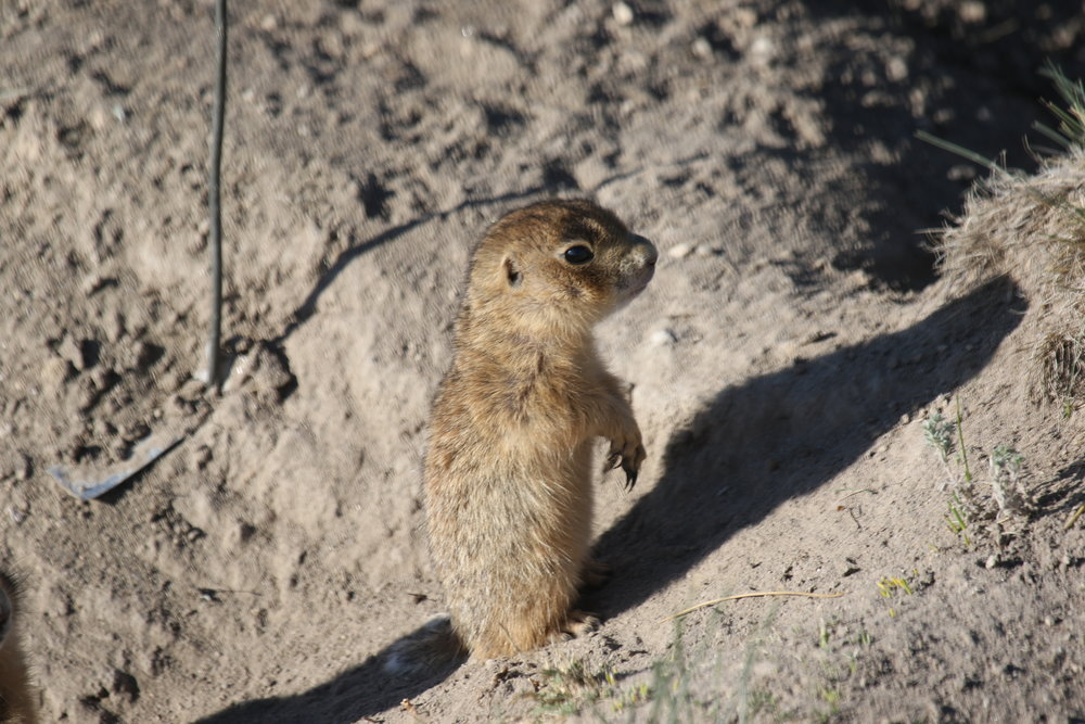 A baby prairie dog on its first day of emergence aboveground.  ©MRR 2017