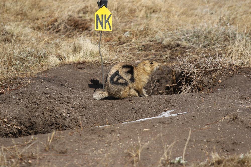 A Gunnison's prairie dog ( Cynomys gunnisoni ) in New Mexico  ©MRR 2017