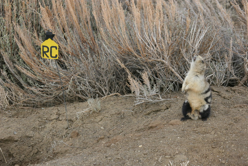 The white-tailed prairie dog will sometimes throw its head back in a territorial call.  ©John Hoogland 2006