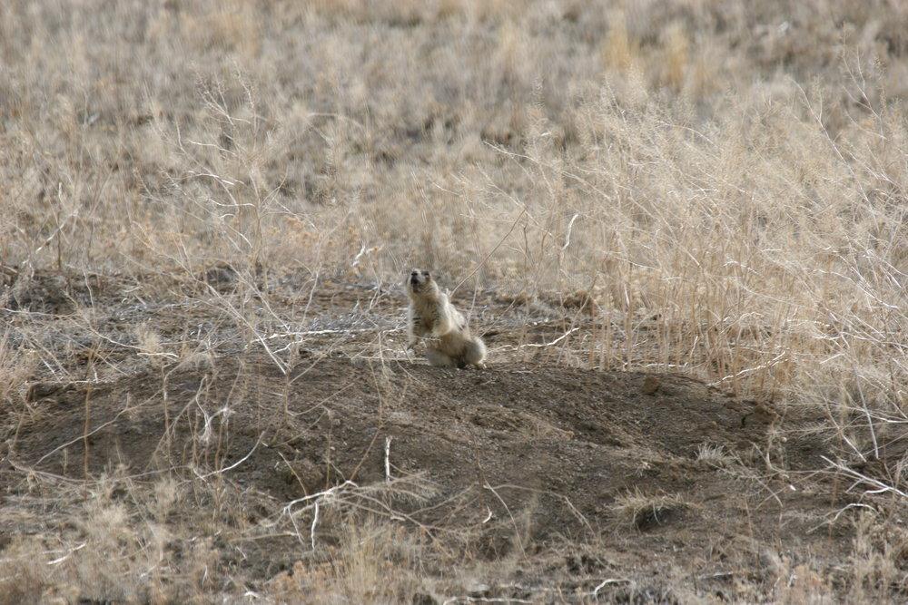 A white-tailed prairie dog territorial call.  ©John Hoogland 2006