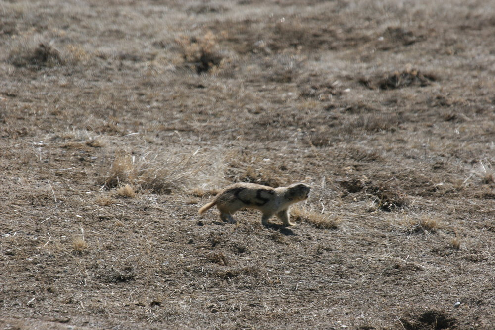 Another white-tailed prairie dog giving a territorial call without the head thrown back.  ©John Hoogland 2010