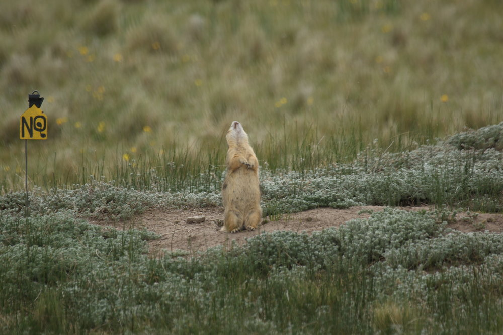 This rare image shows a Gunnison's prairie dog throwing his head back during a territorial call. The head throw is not known within this species, but this particular individual (adult male 5) did it often.  ©MRR 2017
