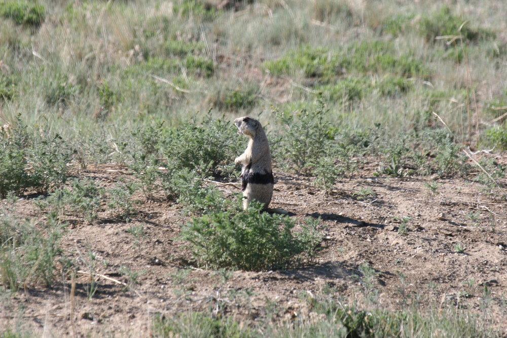 A white-tailed prairie dog exhibiting the classic alarm call posture.  ©John Hoogland 2006