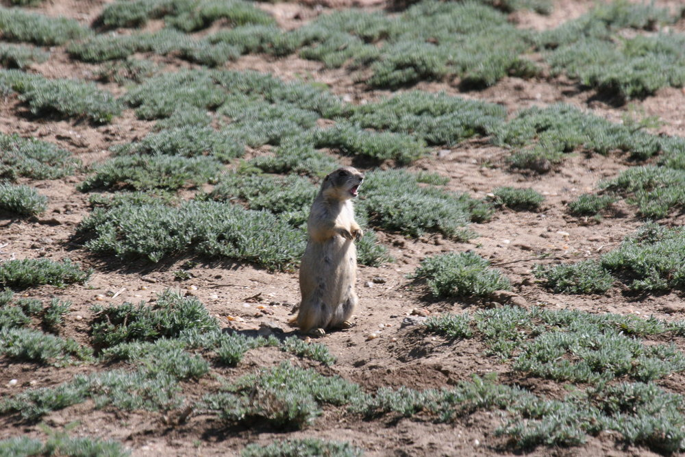 This white-tailed prairie dog female shows off her wide mouth giving an alarm call.  ©John Hoogland 2007