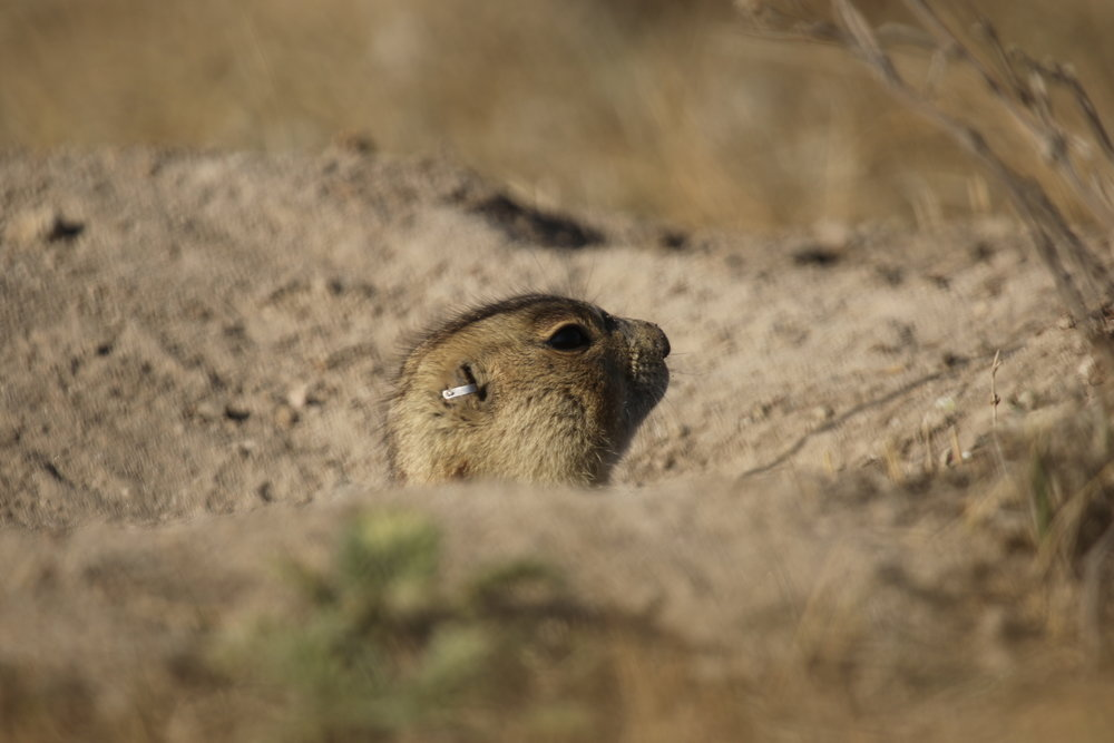 Our first glimpse of emerging prairie dogs is often a head tentatively peeking out from a burrow.   © MRR 2017