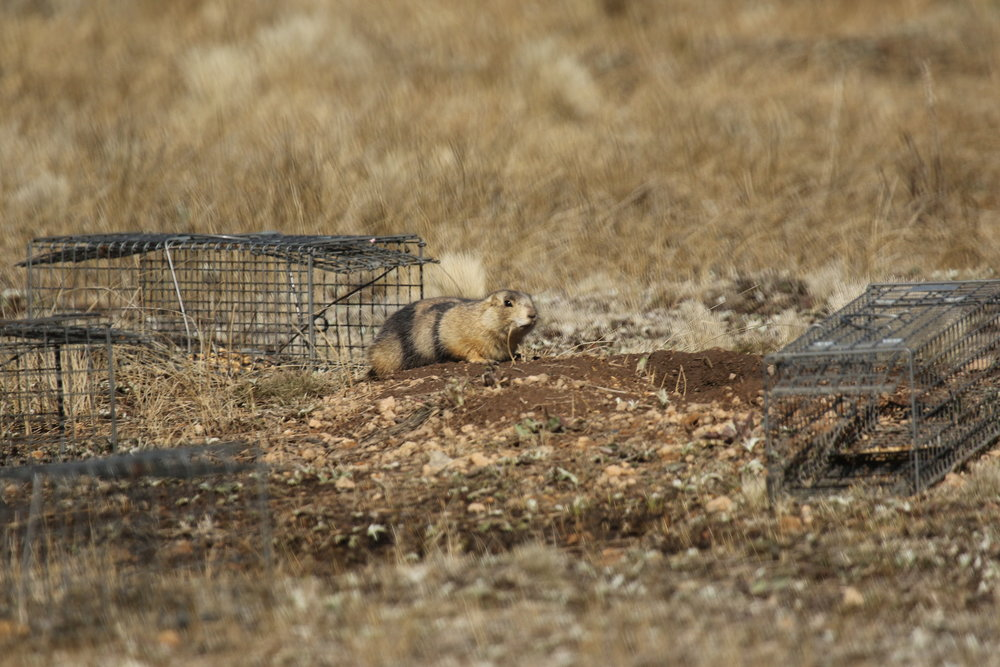 Sometimes the prairie dogs refuse to get caught.  ©MRR 2017