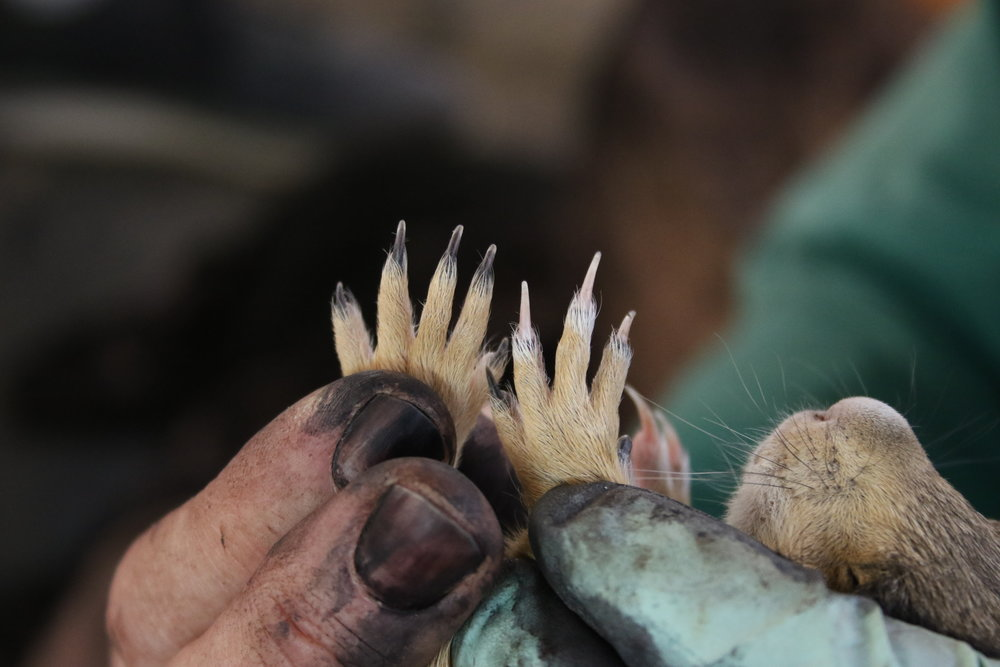 A closeup of a juvenile's nails during handling.  ©MRR 2017