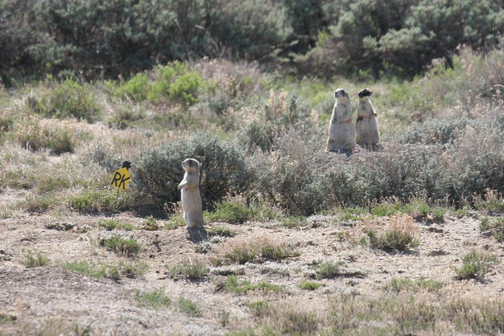 Three lactating mothers on alert.  ©John Hoogland 2012