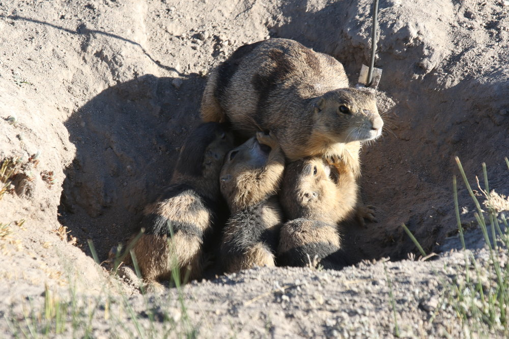 More common in certain species and less common in others, this Gunnison's prairie dog gives us a rare glimpse of aboveground nursing.  ©MRR 2017