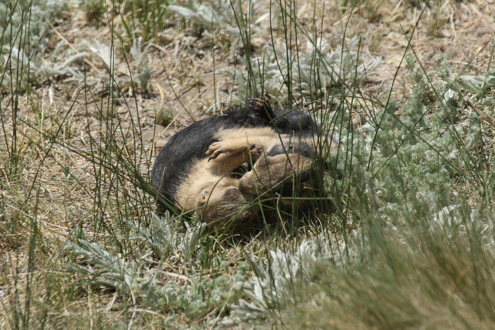 Playing looks nothing like the fights adults will engage it, but play does prepare prairie dogs for hostile interactions in adulthood.  ©MRR 2017
