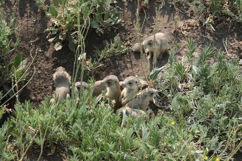 New post-plague offspring at Redondo Meadow.  ©MRR 2017